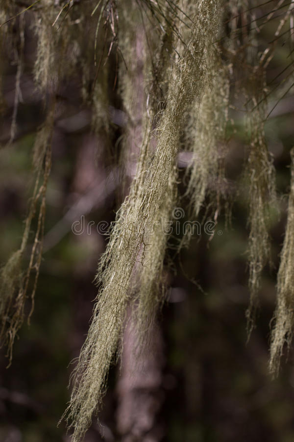 Long hair of Usnea barbata. Old pine forest in Tenerife, Canarian. Island stock images