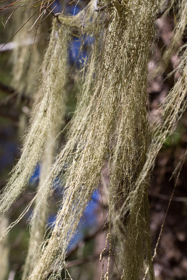 Long hair of Usnea barbata. Old pine forest in Tenerife, Canarian. Island stock photography