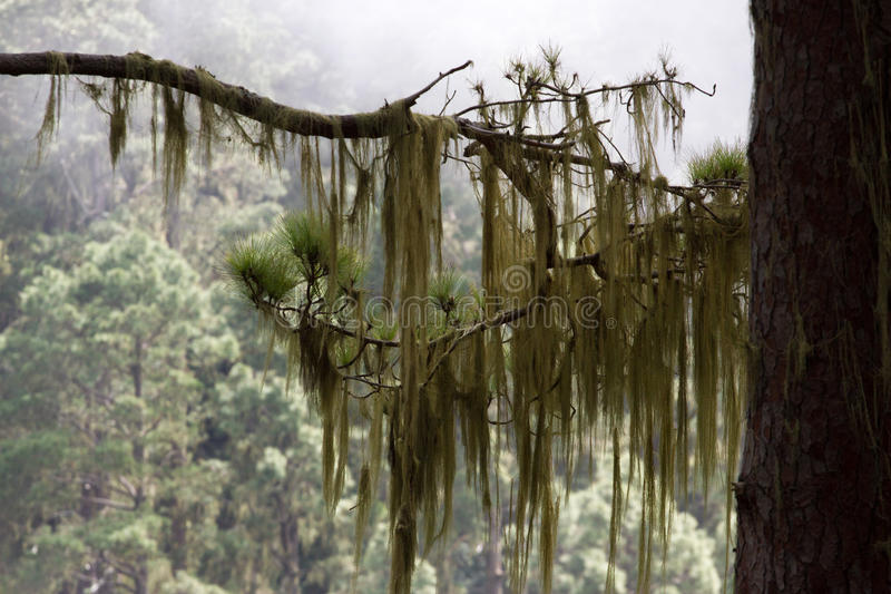 Long hair of Usnea barbata. Old pine forest in Tenerife, Canarian. Island stock photos