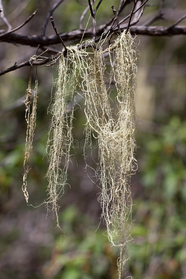 Long hair of Usnea barbata. Old pine forest in Tenerife, Canarian. Island royalty free stock image