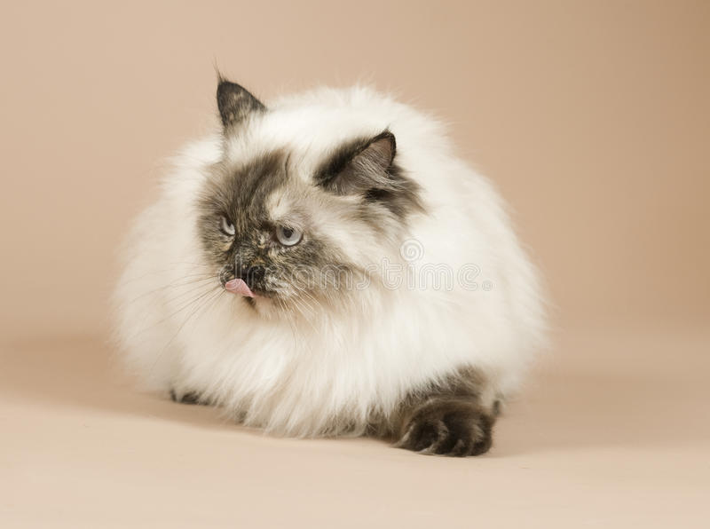 Download Long haired cat isolated stock photo. Image of beast - 26005898