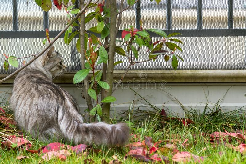 Long haired cat of siberian breed outdoor. Purebred kitten of livestock on the grass green, hypoallergenic animal. Adorable cat of livestock in a garden stock photography