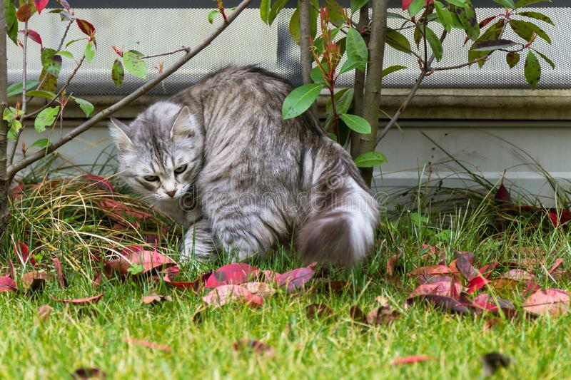 Long haired cat of siberian breed outdoor. Purebred kitten of livestock on the grass green, hypoallergenic animal. Adorable cat of livestock in a garden stock photo