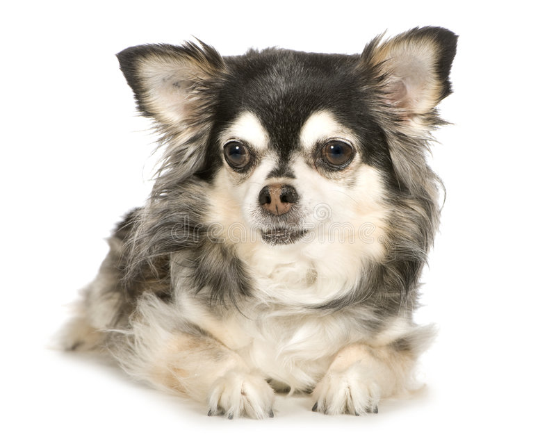 Long haired Chihuahua (11 years). In front of a white background royalty free stock photo