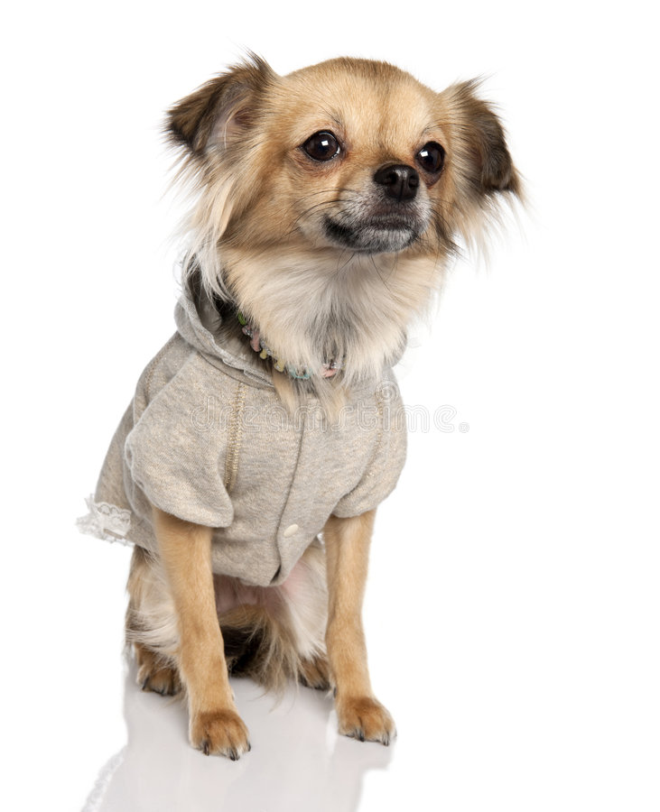 Long haired chihuahua (2 years old) royalty free stock photos