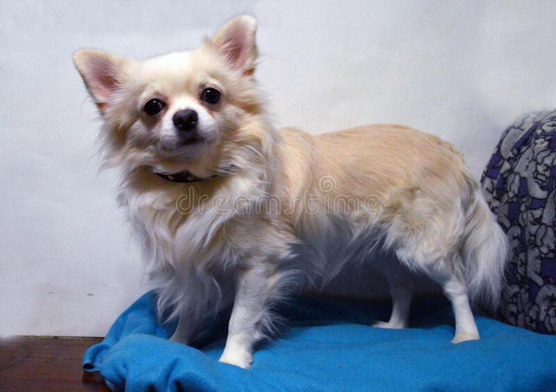 Long haired chihuahua standing on a blue pillow. Long-haired chihuahua standing on a blue pillow. The coat of the dog is white, the coat on the back is sand stock image