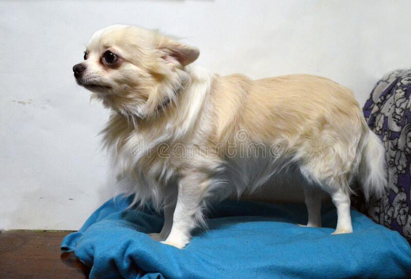 Long haired chihuahua standing on a blue pillow. Long-haired chihuahua standing on a blue pillow. The coat of the dog is white, the coat on the back is sand royalty free stock photo