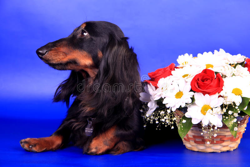 Long-haired dachshund стоковое изображение