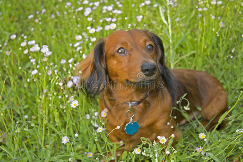Long haired dachshund in wildflowers. Red and black long haired dachshund sitting among the pink wildflowers stock photos