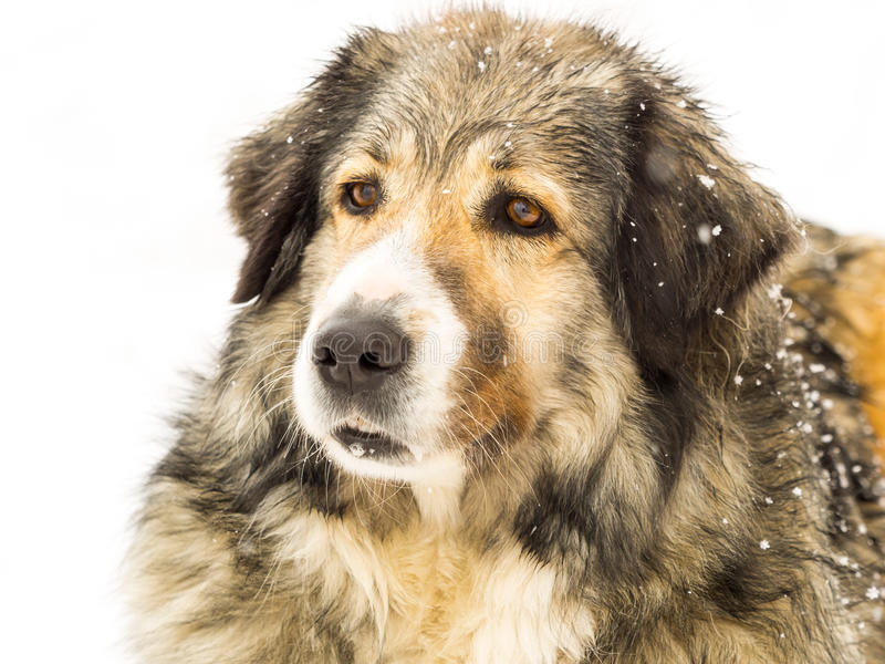 Long haired dog in snow. Head of a happy long haired Romanian sheepdog, enjoying itself outdoors in falling winter snow stock photography