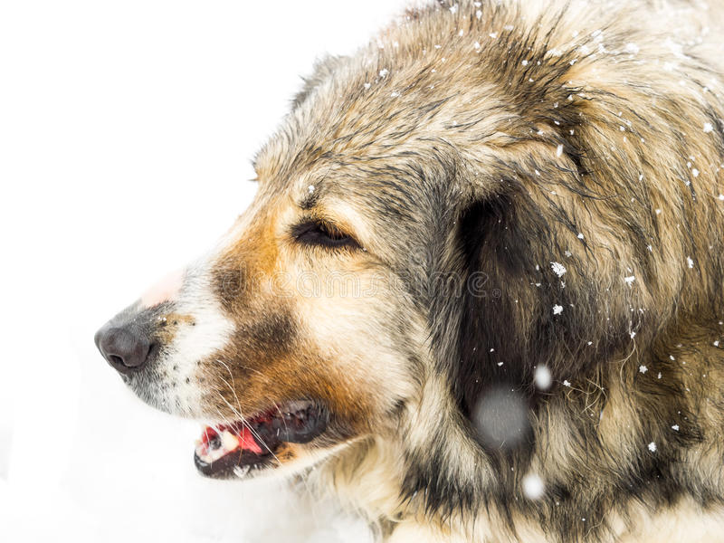 Long haired dog in snow. Head of a happy long haired Romanian sheepdog, enjoying itself outdoors in falling winter snow, close up side view stock images