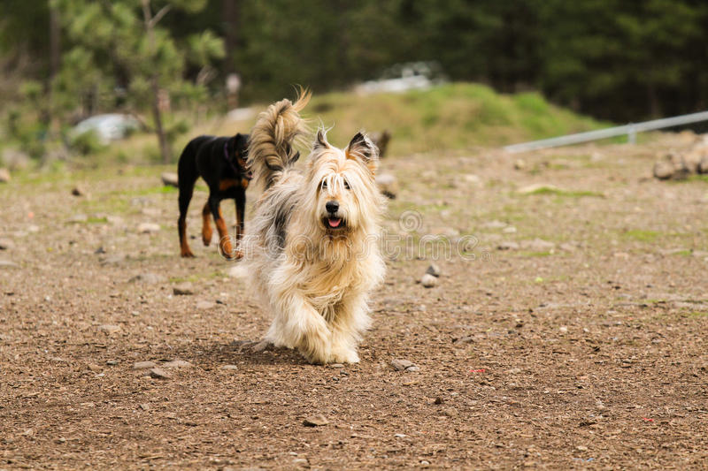 Long-haired dog stock images