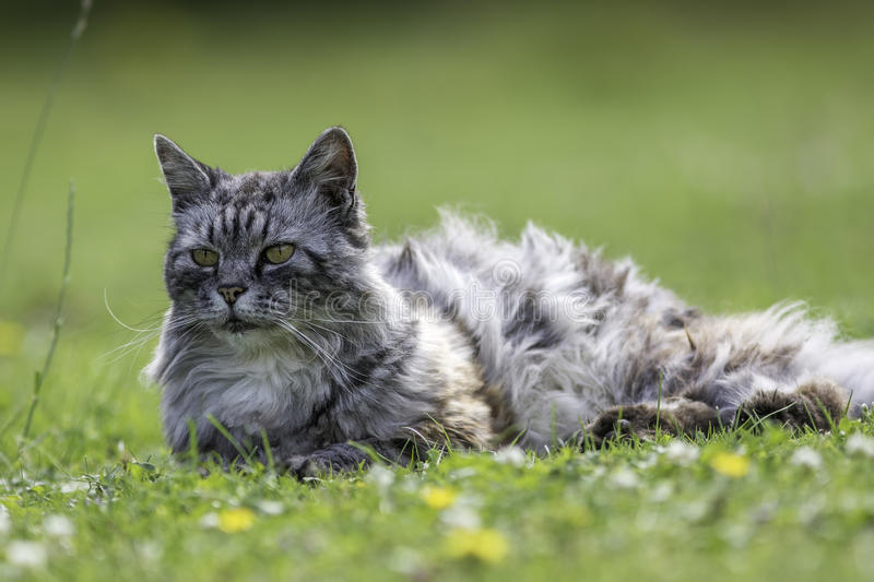 Long haired domestic cat. Domestic long-haired cat (this one is actually semi-feral) laying on a garden lawn stock photography