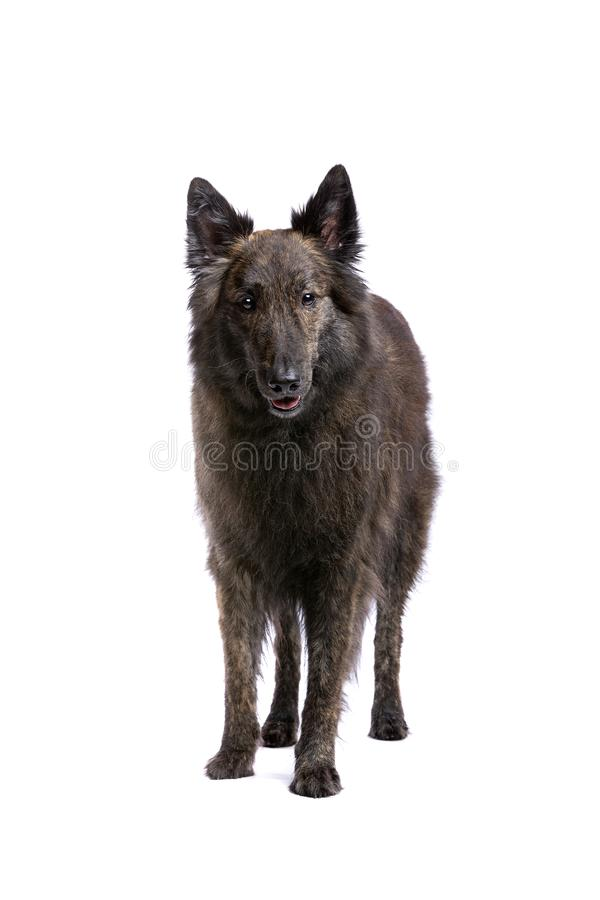 Long-haired Dutch Shepherd royalty free stock photos
