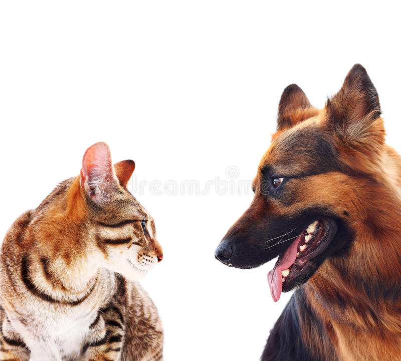 Free Long-haired German Shepherd Dog And A Cat. Royalty Free Stock Photos - 32920478