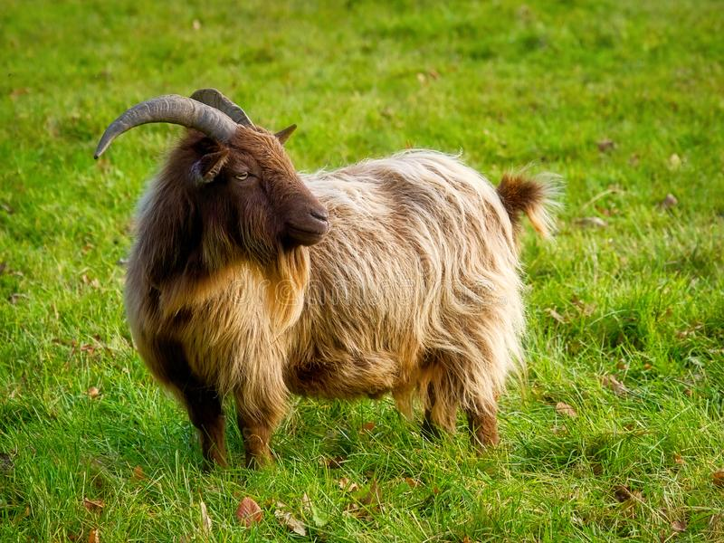 Long-Haired Golden Brown Pygmy Goat royalty free stock photos