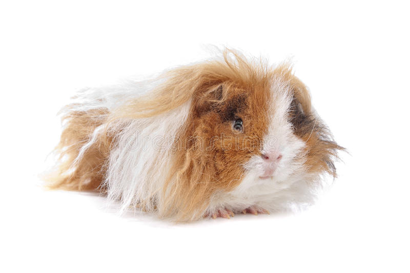 Download Long haired guinea pig stock photo. Image of hair, animal - 24560580