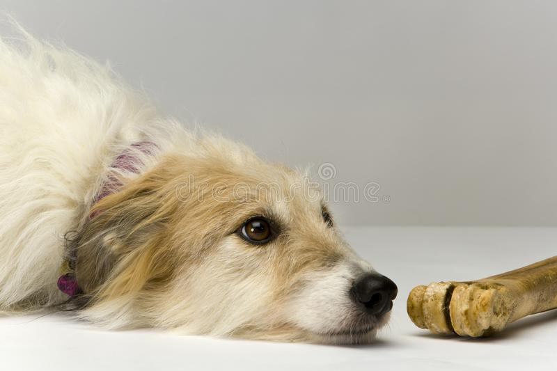 Long-haired lurcher bitch with chew. Studio shot on plain background of a long-haired lurcher bitch lying patiently next to a well-chewed bone stock images