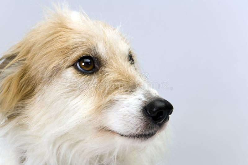 Long-haired lurcher bitch. Studio shot on plain background of a pretty long-haired lurcher bitch head in profile stock photo