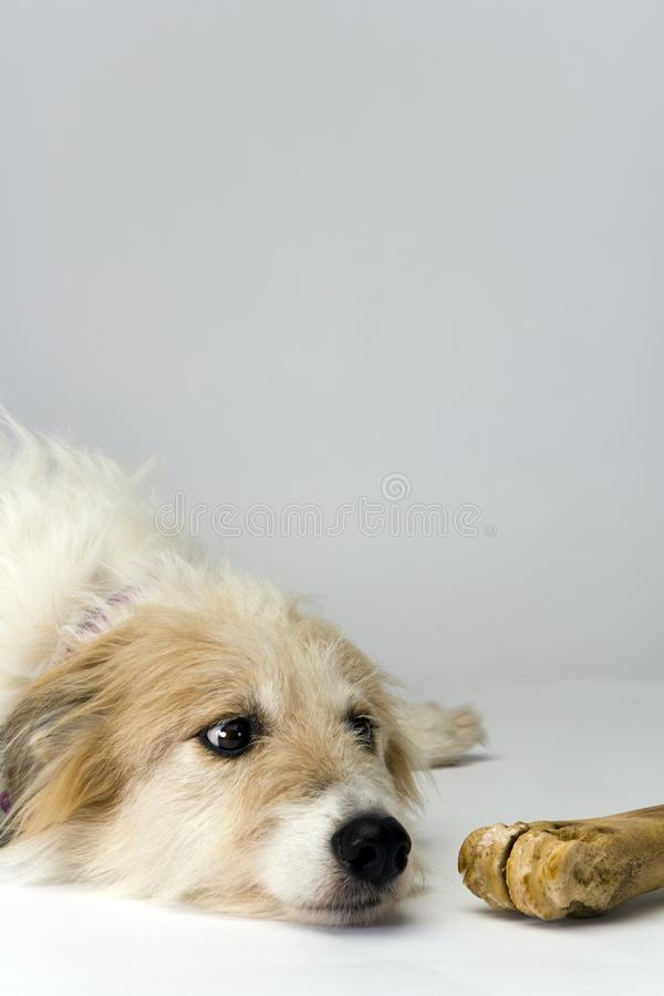 Long-haired lurcher bitch and well-chewed bone. Studio shot on plain background of a long-haired lurcher bitch lying anxiously next to a well-chewed bone royalty free stock photo
