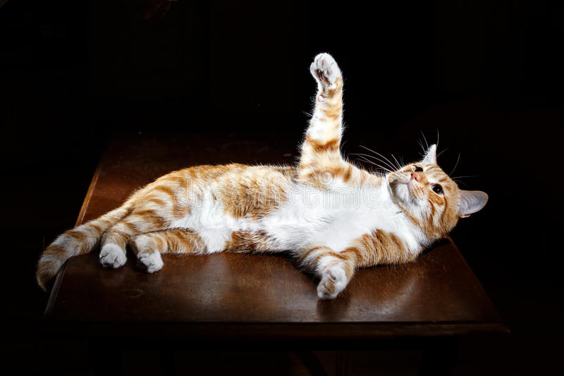Long-Haired Orange Cat Lying Down on Isolated black background stock images