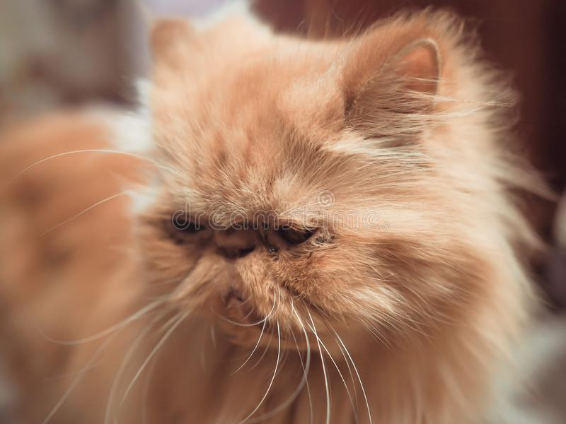 Long haired Persian cat stock photo