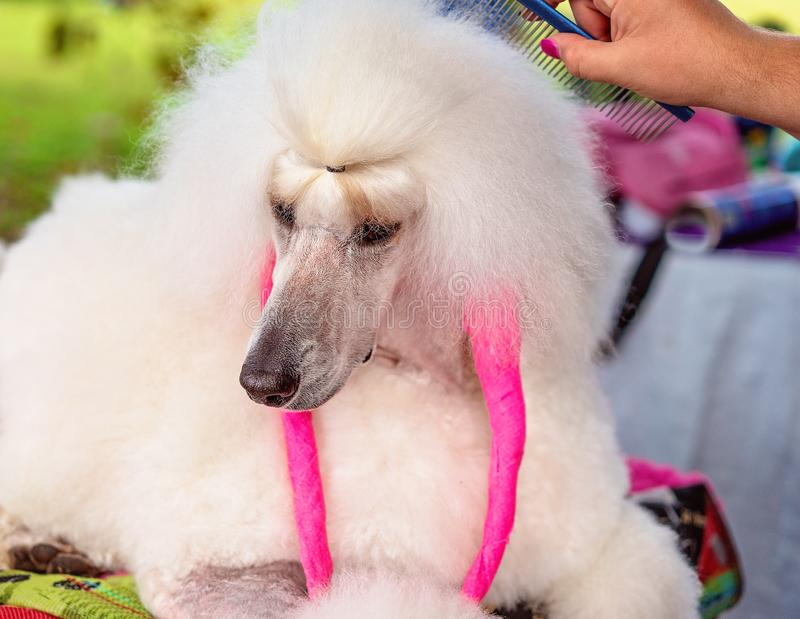 Long Haired Poodle Being Groomed. Close up of a beautiful white standard poodle being groomed ready for judging at a country dog show royalty free stock photo
