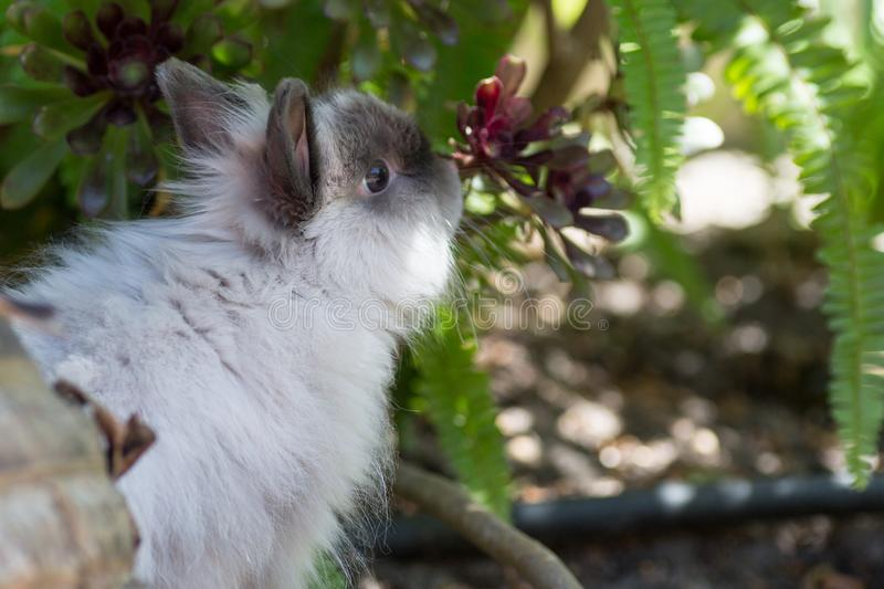 Long Haired Rabbit stock image