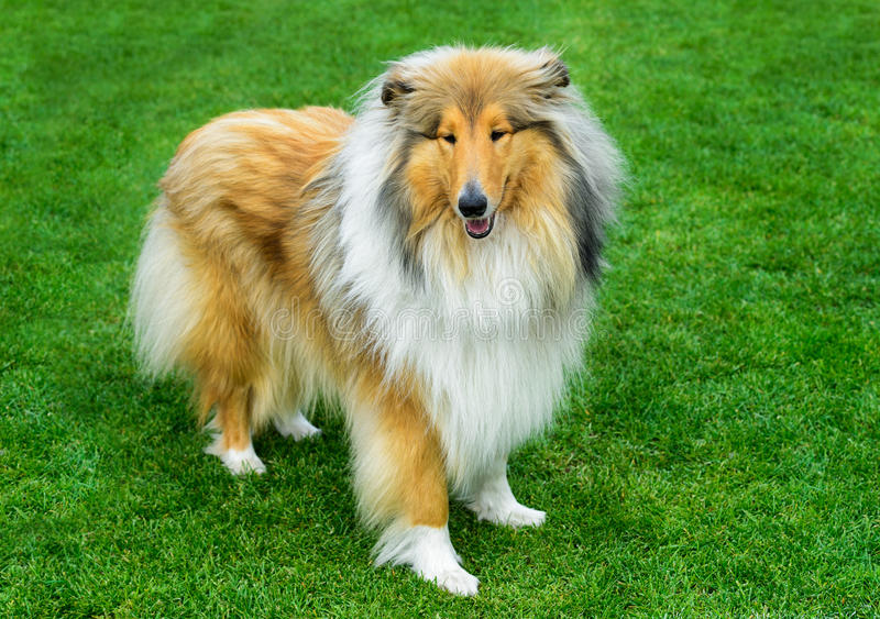 Long haired rough collie standing on the green field. royalty free stock photo
