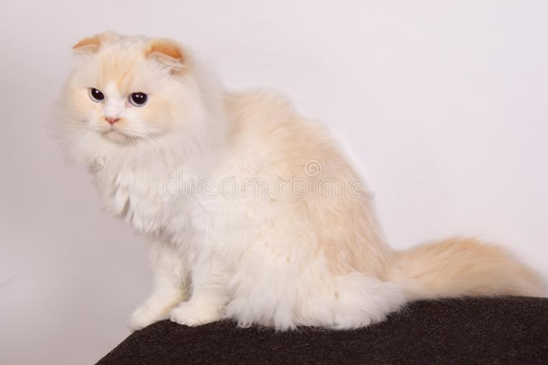 Long haired scottish fold cat. Cute white cat in the studio with scottish fold ears royalty free stock image