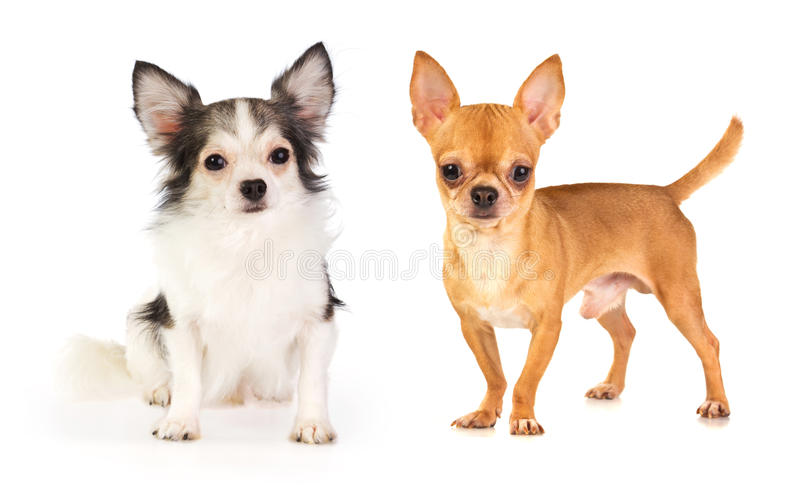 Download Long-haired And Short-haired Chihuahua Stock Image - Image: 29273135