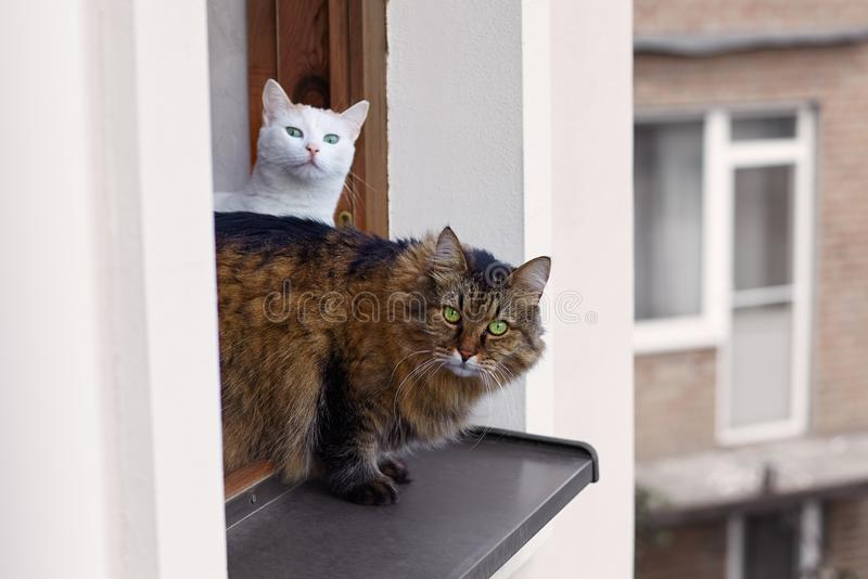 Long-haired Siberian cat tebby colour looks out from the window on up floor of the house, other one cat white colour is behind. Impressive look, green eyes royalty free stock image