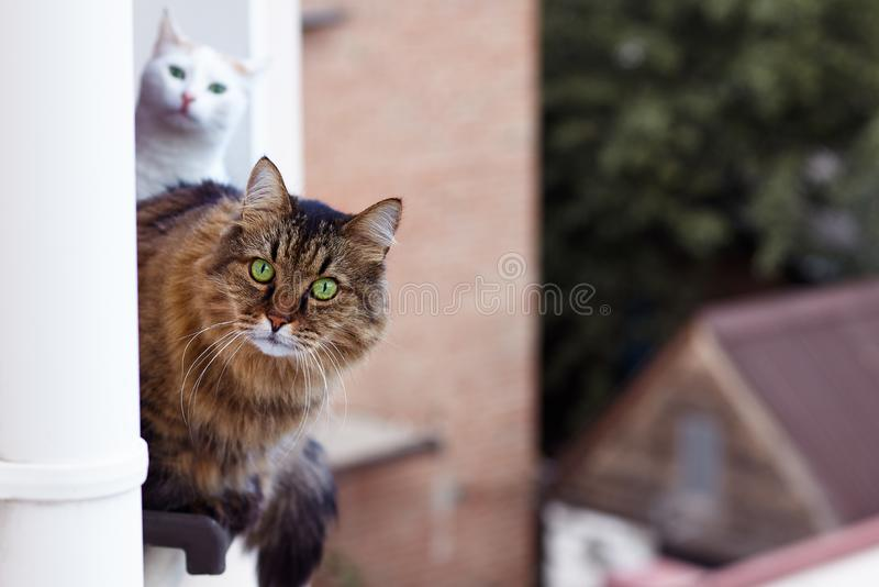Long-haired Siberian cat tebby colour looks out from the window on up floor of the house, other one cat white colour is behind. Impressive look, green eyes stock photography