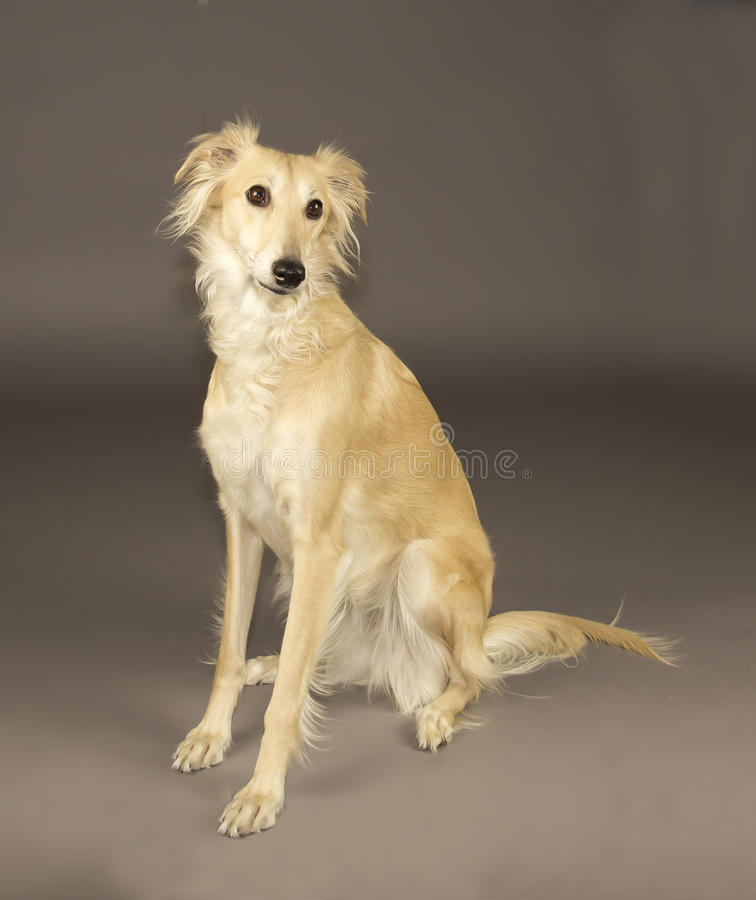 Long Haired Whippet