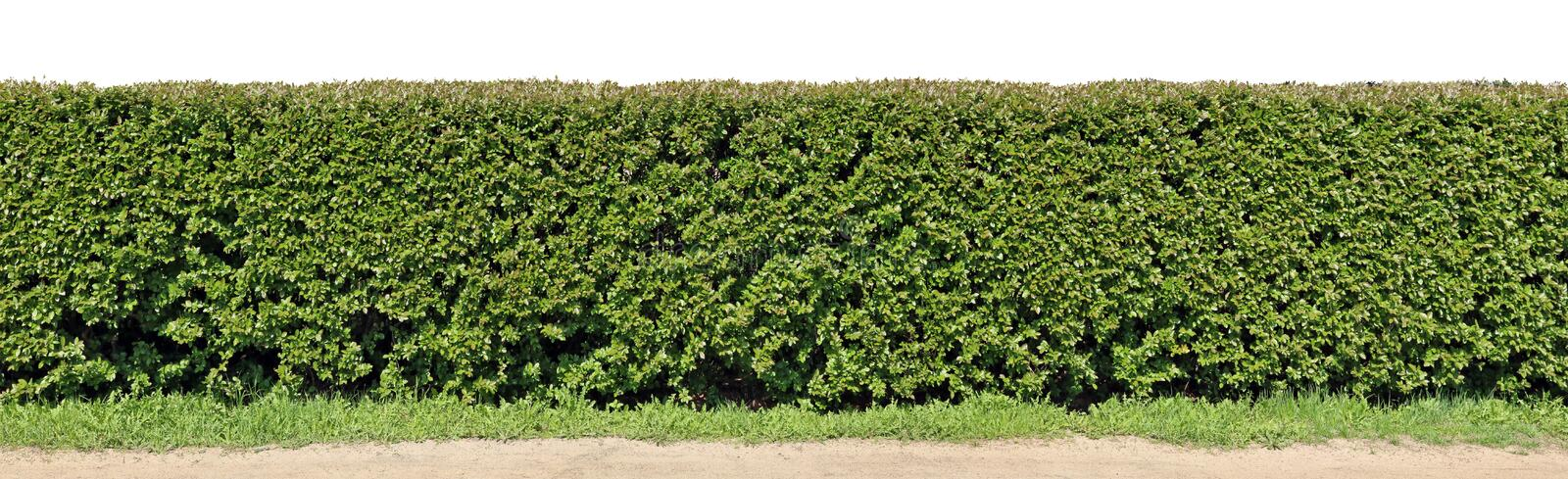 A long hedge of cut decorative bush. Isolated on top high resolution panoramic collage royalty free stock images