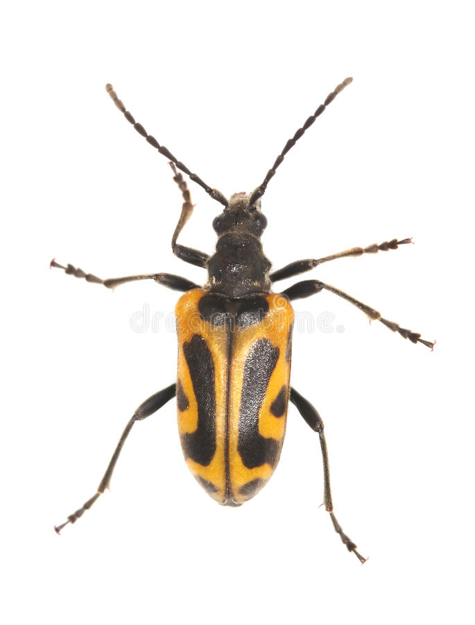 Long horn beetle (Brachyta interrogationis). Isolated on white background. Extreme macro photo royalty free stock images
