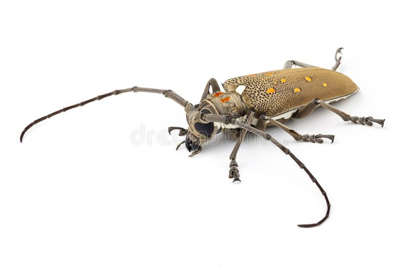 Long horn beetle. On white background royalty free stock photography