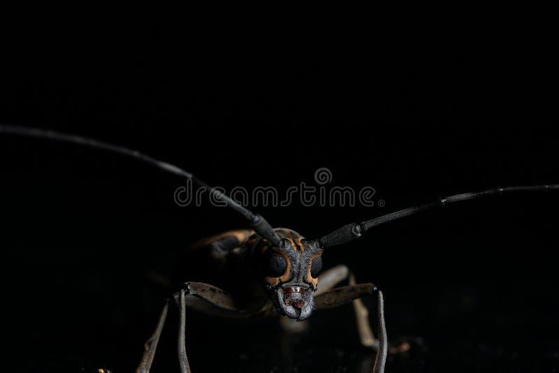 Long horn beetle. Night macro image of a long horn beetle royalty free stock image
