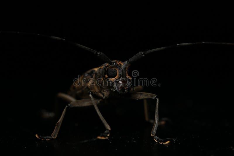 Long horn beetle. Night macro image of a long horn beetle stock photos