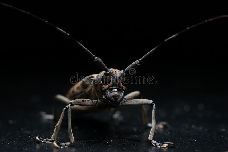 Long horn beetle. Night macro image of a long horn beetle royalty free stock photography
