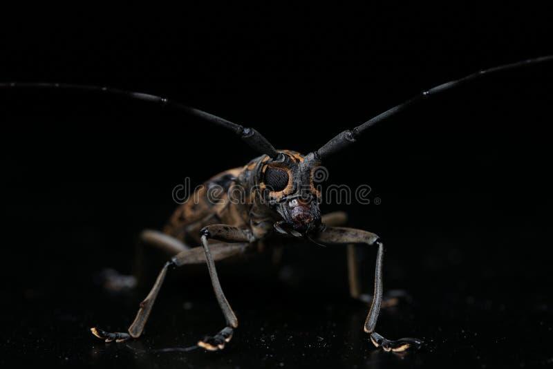 Long horn beetle. Night macro image of a long horn beetle royalty free stock photo