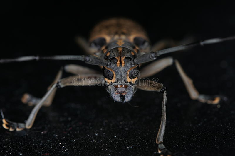Long horn beetle. Night macro image of a long horn beetle stock images