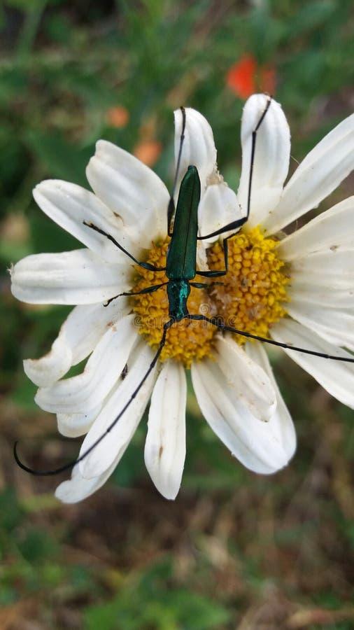 Long-horn beetle on a white daisy. A close up view of a metallic green Long-horn on a white daisy stock photos