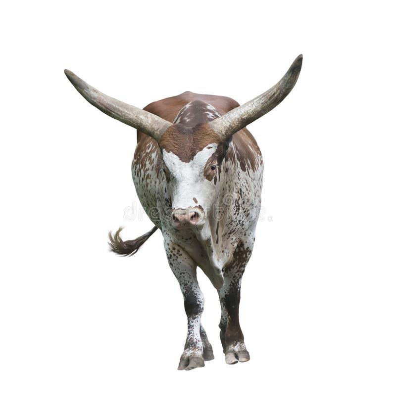 Long horn bull. Isolated on white background stock images