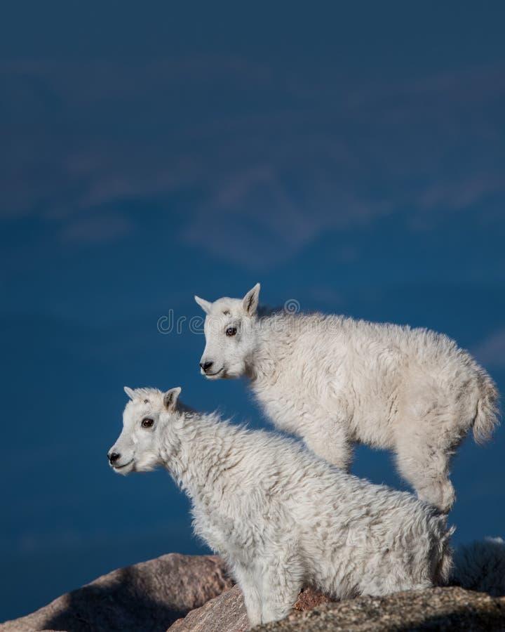 Long Horn Sheep Calfs. Mount Evans stock photography