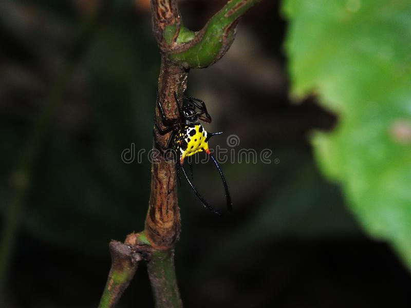 Long Horn Spider from Borneo. Long horn spider at East Borneo rain forest, with bright yellow color in the back  to show his dominance stock photo