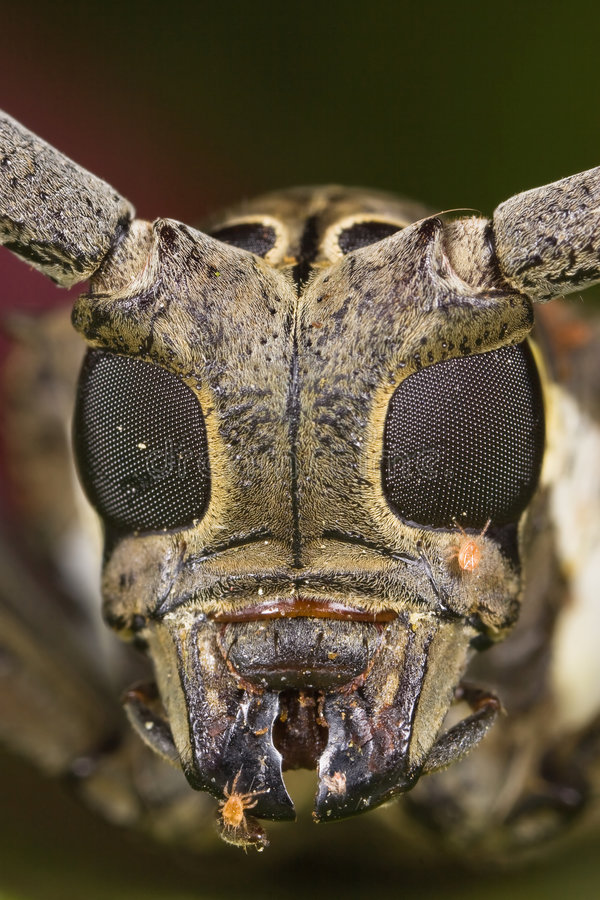 Long-horned beetle face royalty free stock photos