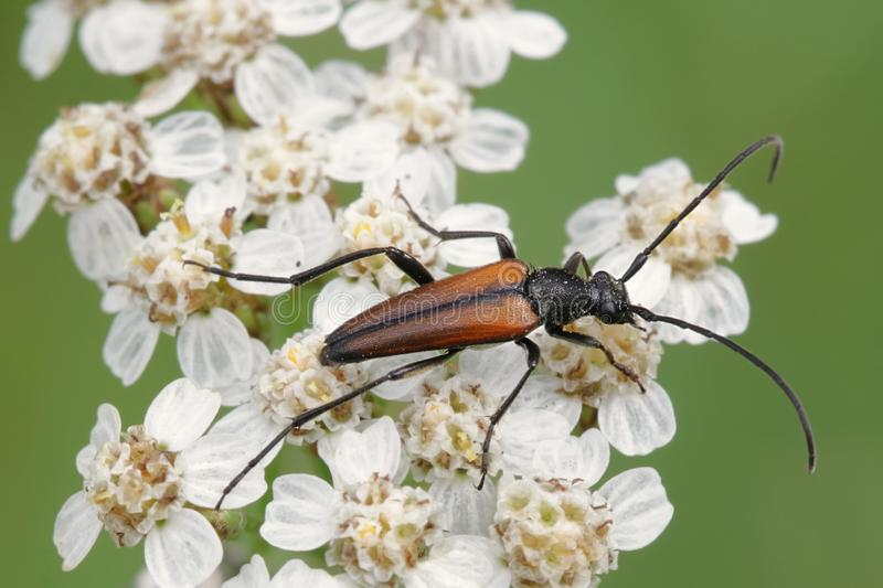 Long-horned beetle, Leptura melanura stock photography