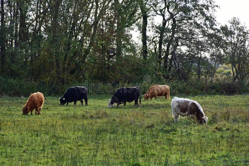 Long-horned cattle, Strumpshaw Fen, Norfolk, England. Long-horned cattle at RSPB Nature Reserve at Strumpshaw Fen, Norfolk Broads near Norwich, Norfolk, England stock photo