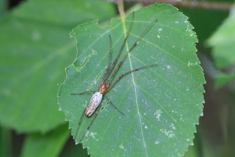 Long Jawed Orb Weaver spider. On leaf in morning stock images